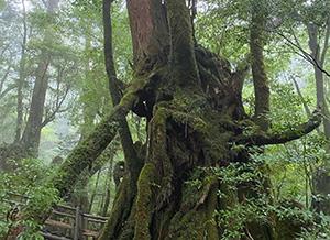 屋久島の大地の養分がたっぷり。内地材に比べ、鎮静安眠効果が20倍!